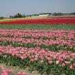 チューリップ畑の風景