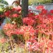 秋の羽生にて ―早生田堀の彼岸花―