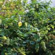 コエビソウ(小海老草)キツネノマゴ科 キツネノマゴ属 別名:ベロペロネ
