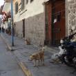 野良犬天国ペルー@マチュピチュ旅行報告記33