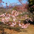 満開の河津桜 大井