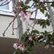 十月桜は先祖返り?