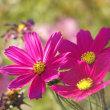 ホトトギスと秋明菊