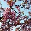 恒例のお花見、千光寺 。