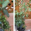 5月26日・ミニトマトの様子窒素過多?