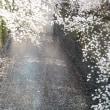 目黒川の花見   花筏