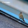 今日の野鳥・・・ジョウビタキ♀・・・♂は何処に?。。