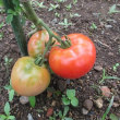 大玉トマト収穫