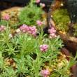 紅花エゾノチチコグサと千島タンポポ