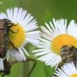 ハナムグリ(甲虫)