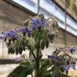 ボリジの花