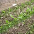 ほうれん草と雑草の判別