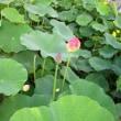 2007北京夏・紫竹園の蓮の花♪