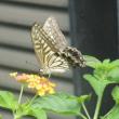 秋のランタナにアゲハ蝶と花トラの尾