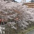 金沢のさくら2018(15)主計町