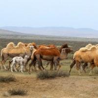 モンゴルのラクダ