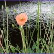 水辺のナガミヒナゲシ