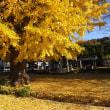 今日(12/3)歩いたコース中の坂東札所8番星谷寺の銀杏の黄色が見事でした。