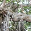 佐多岬のマングローブです