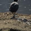 水辺の鳥スナップ