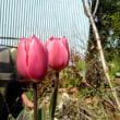 フリンジ咲き と ユリ咲き  チューリップ  と、、