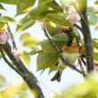 八重桜とアトリ