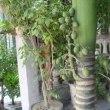 ビンロー椰子の木