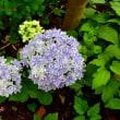 夏至 セルフ父の日と紫陽花