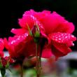 その瞳に映るのは 真っ赤な薔薇の 競演