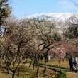 早春の上弦の月と玉縄桜