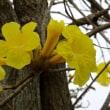 南米に咲くイペーの花