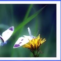 蝶の食事場所争奪戦