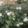 薔薇という漢字を眺めているといかにも薔薇だなあと感じてしまうなあ・・・