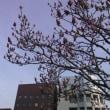 桜はまだかいな? @札幌