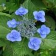 宮ヶ瀬の紫陽花は見ごろ