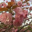 八重桜とツツジ