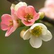 木瓜の花(Ⅴ)