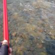 ぬるま湯の中で鮎釣り
