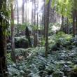 西之表市国上大田・種子島の山中の原生巨大シダ林のご紹介