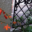ヒメヒオウギスイセン開花