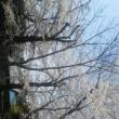 茶欧…桜が満開