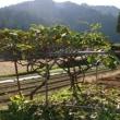 キウイの木の剪定