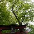 軽井沢のいろいろ 軽井沢の森は・・ シナノキって・・