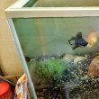 金魚の水槽掃除をやってみた!!去年の夏まつりで釣った金魚1年目の夏 HAPPY!!