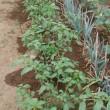 農園での野菜収穫。
