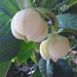 咲きました!ココマグノリア