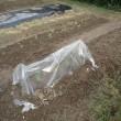 畑、アスパラガス定植