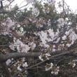 小雨→昼食@藤沢・コーヒー→スチールギター「鈴懸の径」→桜開花@藤沢