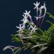 富貴蘭「猩々」の花