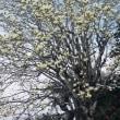 早春に咲くコブシの花が綺麗(⋈◍>◡<◍)。✧♡